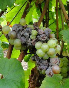 csm_Botrytis-vigne-grappe-1-360x360_2dad29485b