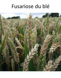 fusariose du blé
