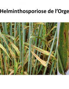 helminthosporiose de l'orge