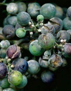 oidium-de-la-vigne-4_10_0