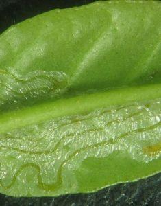 galeries causé par la  mineuse des agrumes sur le feuillage.