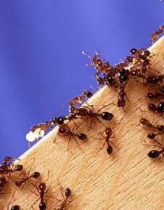 lutte contre fourmis