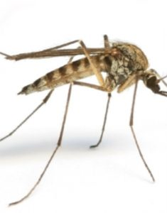 moustiquesdangerssanté