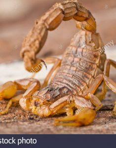 nahaufnahme-detail-von-einem-buthus-skorpion-scorpio-occitanus-d3dfhx